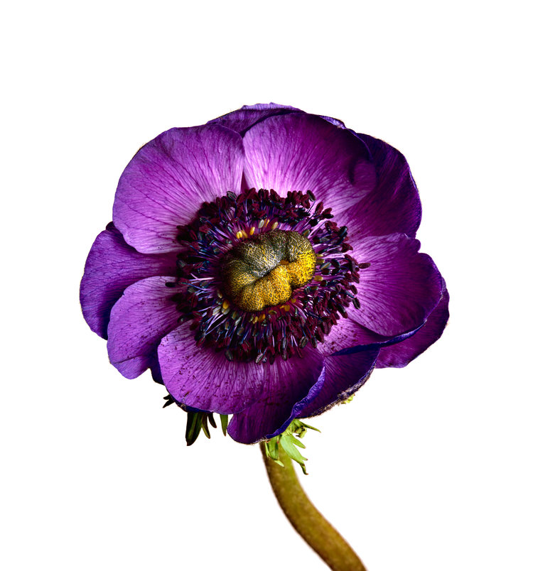 anemone_inra_blue